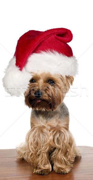 Йоркшир собака Рождества Cap коричневый таблице Сток-фото © carenas1