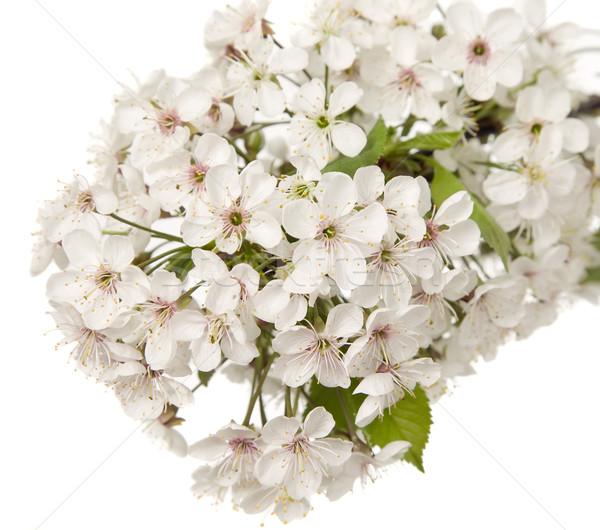 Hermosa flor blanca asombroso flores hojas verdes naturaleza Foto stock © carenas1