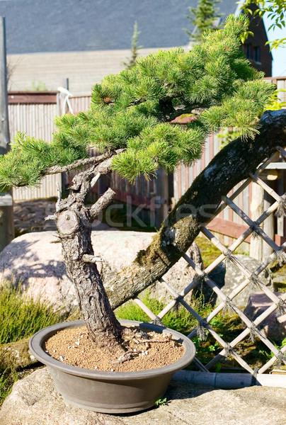 Bonsai pot tuin japans natuur plant Stockfoto © carenas1