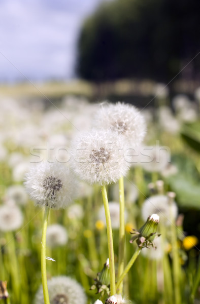 Mező pitypangok fű természet fa nyár Stock fotó © carenas1