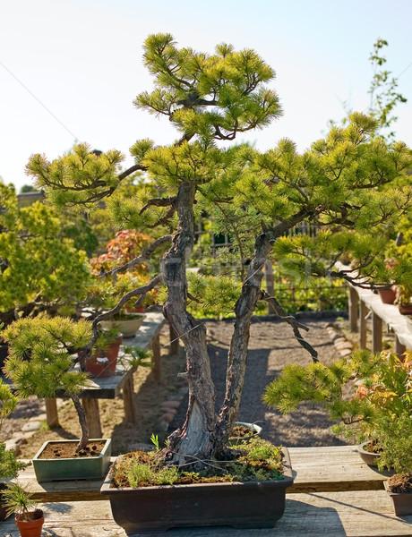 бонсай банка саду Японский природы завода Сток-фото © carenas1