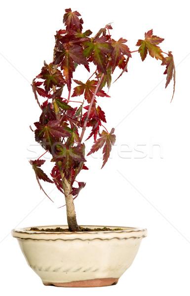 メイプル 盆栽 ポット 白 自然 工場 ストックフォト © carenas1