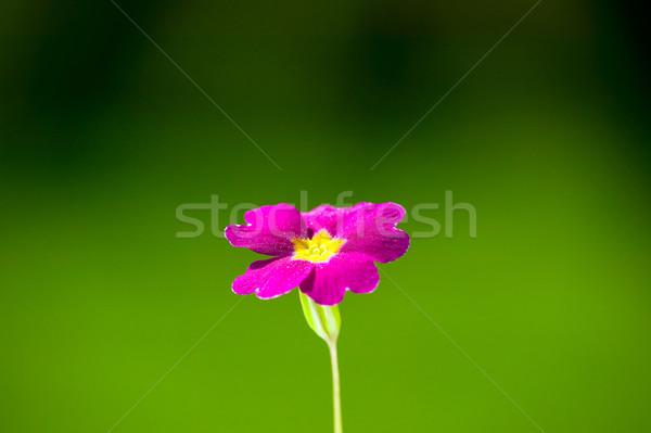 Flor rosa verde naturaleza amarillo centro flor Foto stock © carenas1