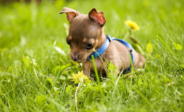 Weinig hond speelgoed terriër gras spelen Stockfoto © carenas1