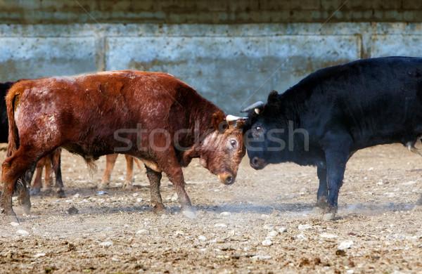 Raging bull  Stock photo © carloscastilla
