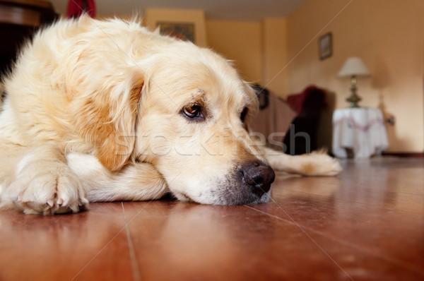 portrait of dog Stock photo © carloscastilla