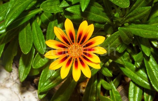Yellow flower Stock photo © carloscastilla