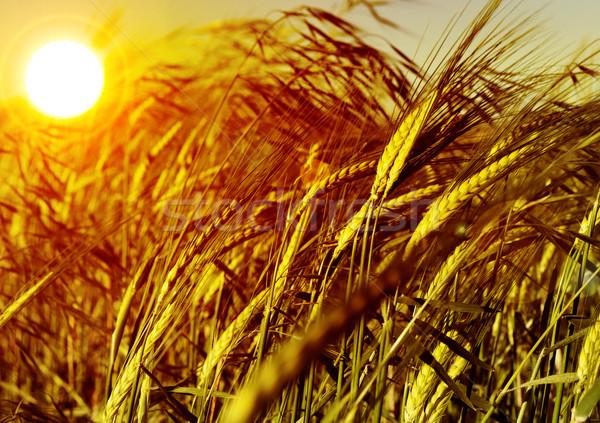 Búzamező részlet fül gabona naplemente nap Stock fotó © carloscastilla