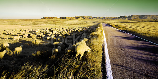 Moutons route printemps herbe Photo stock © carloscastilla