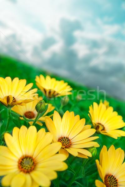 желтый цветок зеленая трава Сток-фото © carloscastilla
