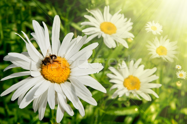 Printemps marguerites domaine soleil abeille Photo stock © carloscastilla