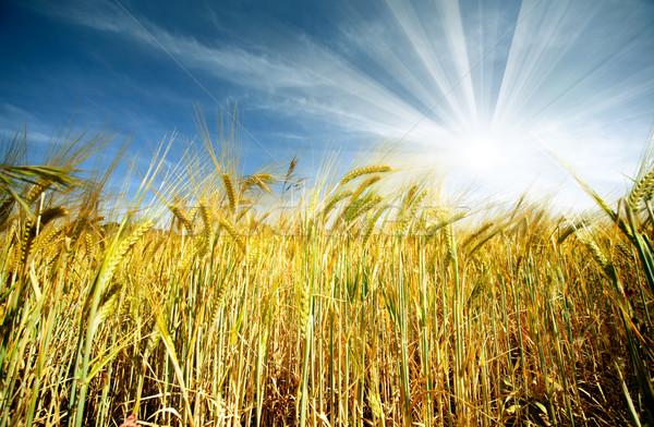 Búzamező idilli napsütés Stock fotó © carloscastilla