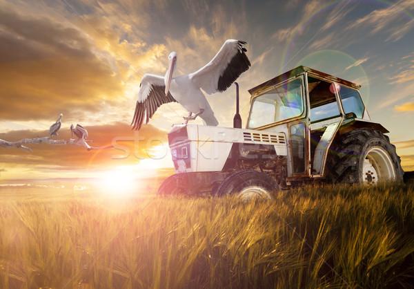 сельский пшеницы полях экзотический птиц Сток-фото © carloscastilla
