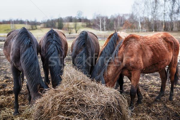 лошадей еды сено вниз продовольствие лице Сток-фото © castenoid