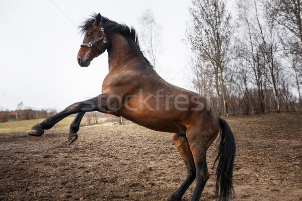Running horse  Stock photo © castenoid
