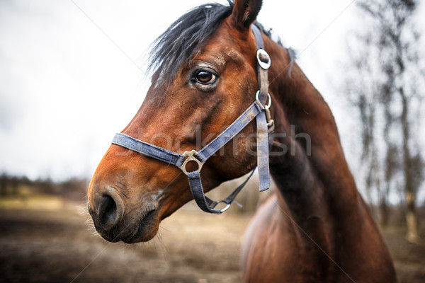Head of the horse Stock photo © castenoid