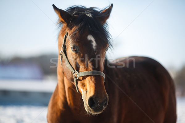 Hoofd paard portret bruin gezicht Stockfoto © castenoid