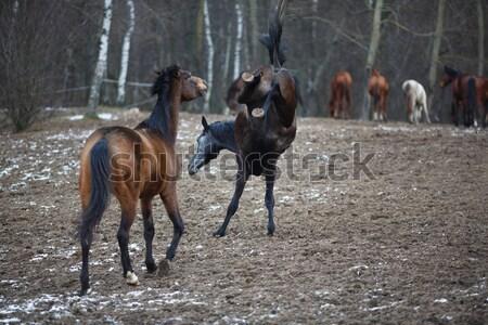 лошадей луговой зима время лошади Сток-фото © castenoid