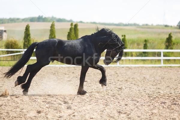 Running frisian horse Stock photo © castenoid