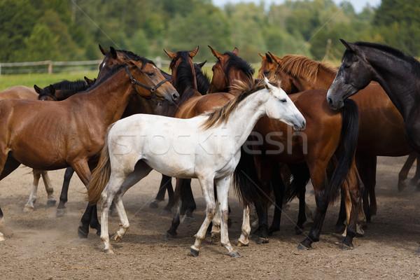 Nyáj lovak fut poros legelő természet Stock fotó © castenoid