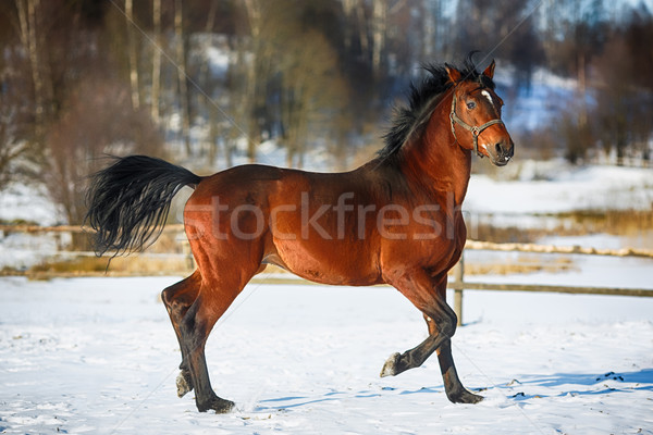 работает лошади коричневый снега арена небе Сток-фото © castenoid
