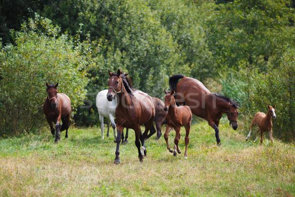 Herd of horses Stock photo © castenoid