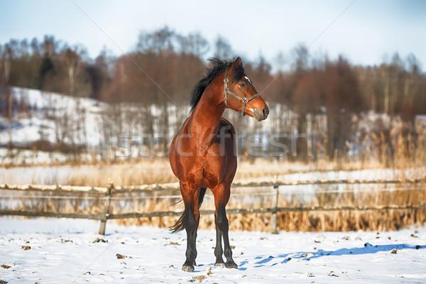 лошади зима Постоянный снега области животного Сток-фото © castenoid