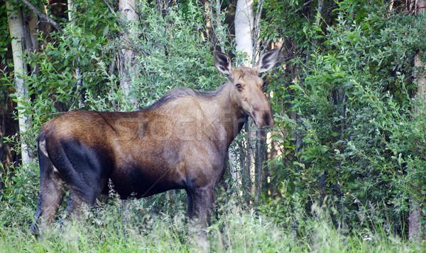 Giant Alaskan Moose Female Feeds on Leaves Forest Edge Stock photo © cboswell