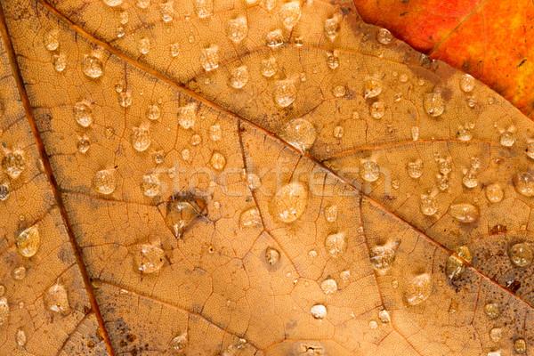 Pomarańczowy żółty pozostawia mokro rosa Zdjęcia stock © cboswell