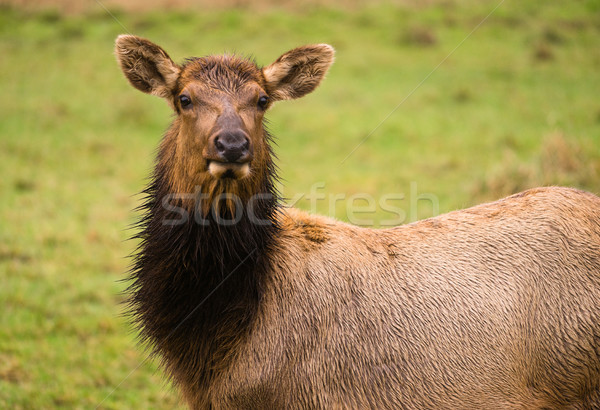 Female Elk Stops Grazing to Look at the Camera Stock photo © cboswell