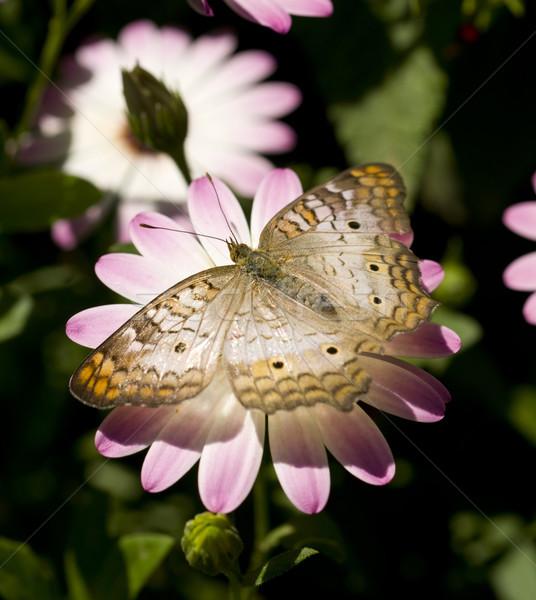 White Peacock Stock photo © cboswell