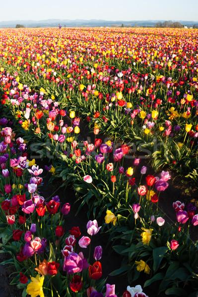 Schludny tulipany kolorowy kwiaty Zdjęcia stock © cboswell