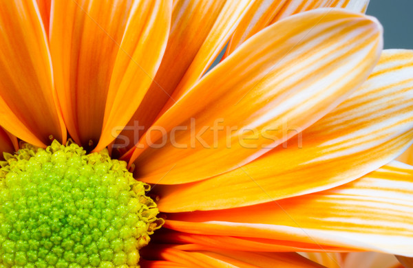 Dyed Daisy Flower White Orange Petals Green Carpels Close up Stock photo © cboswell
