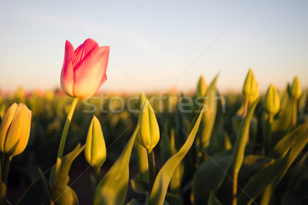 Solo Pink Tulip Bends Opening First Agricultural Flower Farm Stock photo © cboswell