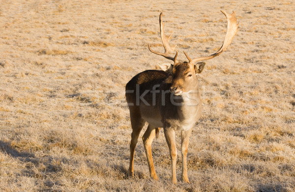 Beautiful Engaged Wildlife Young Male Buck Deer Standing Animal  Stock photo © cboswell