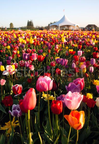 Foto stock: Tulipas · colorido · flores · agricultores