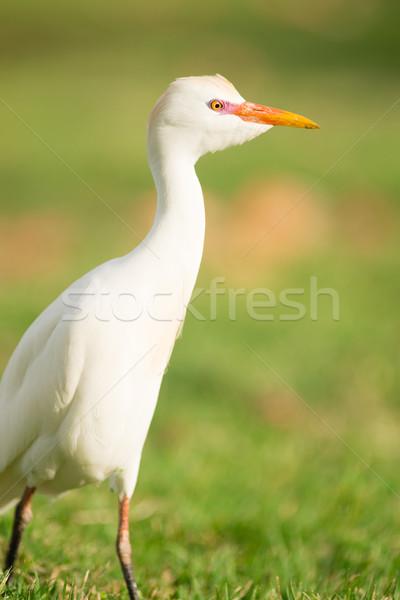 Wild Bird Cattle Egret Oahu Haiwaii Native Animal Wildlife Stock photo © cboswell