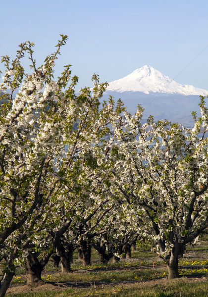 Mount Hood stands in the distance over Fruit Orchard Stock photo © cboswell