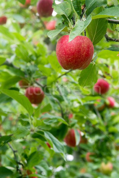 Vertical industrielle verger de pommiers fruits arbres pommes Photo stock © cboswell