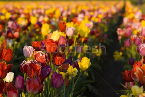 Rangée tulipes fleur ferme Photo stock © cboswell