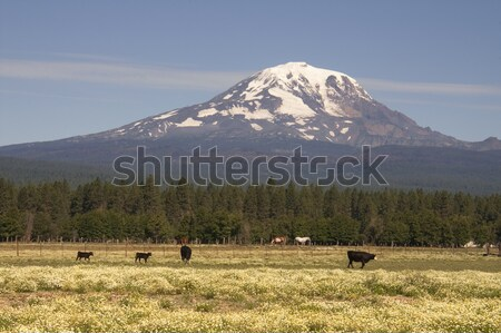Grazing Cattle Ranch Countryside Mount Adams Mountain Farmland L Stock photo © cboswell