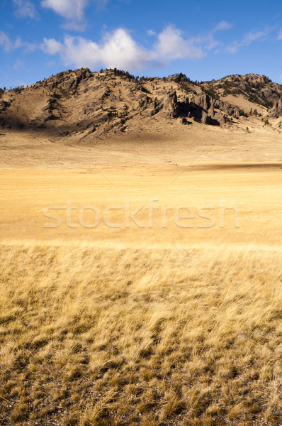 Yellow Grain Grassland Growing Scenic Valley Northern Rocky Moun Stock photo © cboswell