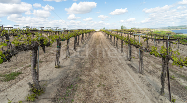 Young Grape Vines Winery Plantation Fruit Plants Stock photo © cboswell