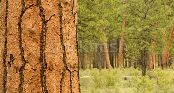 Beautiful Stand of Trees Bend Oregon Deschutes County Stock photo © cboswell