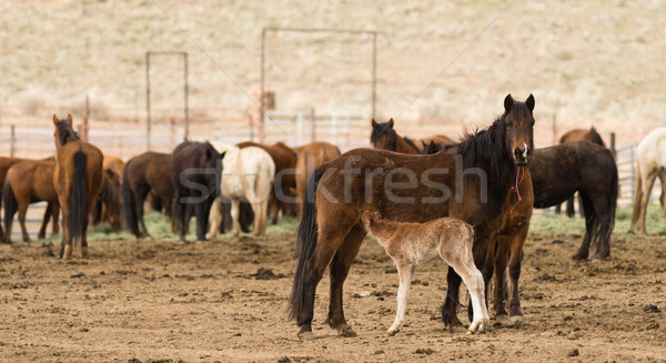 Sauvage chevaux Oregon cheval poney Photo stock © cboswell