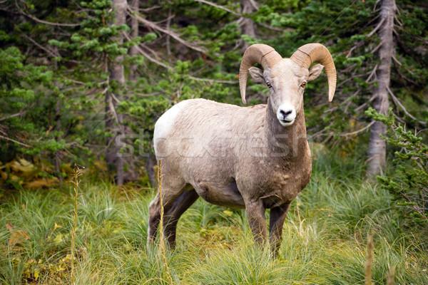 Saine Homme moutons Montana faune Photo stock © cboswell