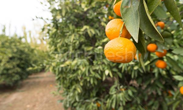 Raw Food Fruit Oranges Ripening Agriculture Farm Orange Grove Stock photo © cboswell