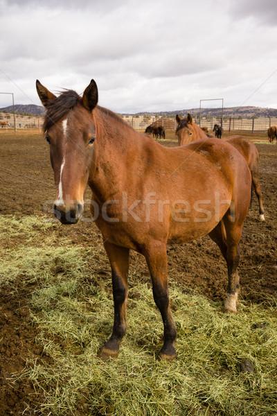 Wild Horse Standing Portrait Close Up American Animal Stock photo © cboswell