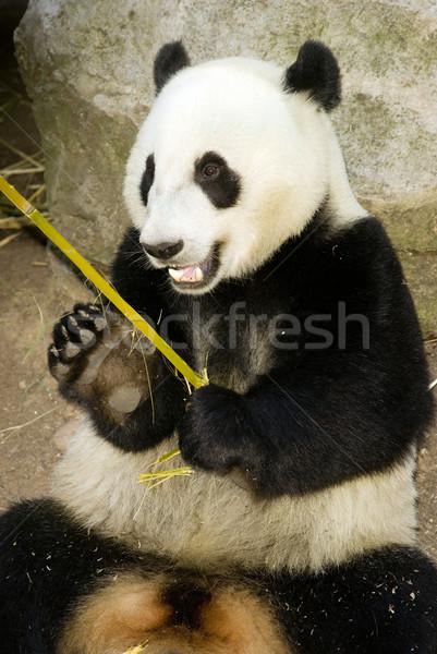 Panda регулярный диета бамбук обед день Сток-фото © cboswell