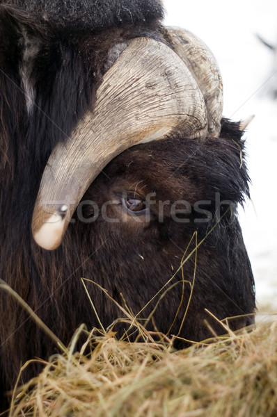 Stock photo: Alaska Animal Musk OX feeds on hay straw vertical composition